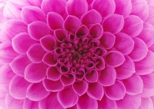 Amethyst Tiger Pink Flower