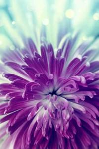 AmTig Purple Chrystanth lr