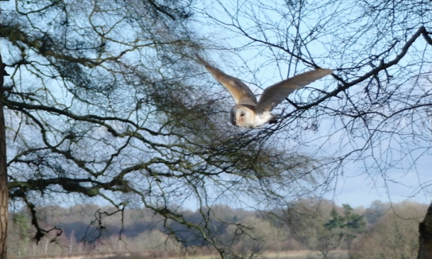 LKI Owl on Wing
